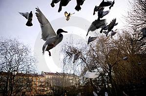 vol de pigeons.jpg